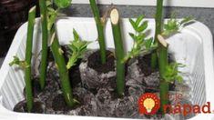 Skúsený pestovateľ poradí, ako na to! Farm Gardens, Outdoor Gardens, Vegetable Garden, Garden Plants, Black Spot On Roses, Landscape Design, Garden Design, Magic Garden, Growing Roses