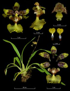 Oncidium isthmii - From: Epidendra - The Global Orchid Taxonomic Network