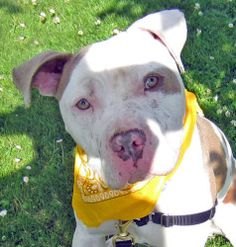 Stanley is an adoptable Pit Bull Terrier Dog in Seattle, WA. Stanley is a super cute three year old who's mostly white with some big tan spots,�a tan�eye patch,�and a sweet pink and tan nose.� He came...