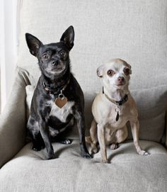 Chihuahuas Joey and Terry fit right in with the home's natural color scheme.   - CountryLiving.com