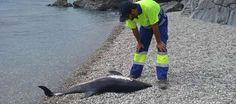LA HERRADURA. Un delfín joven ha sido hallado muerto en la playa de La…
