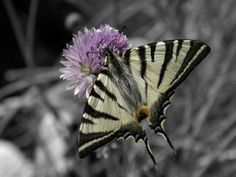 Swallowtail butterfly set on grey background from www.artography.com