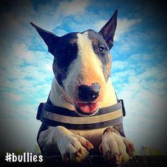 #bullies #bullterrier #skyrah