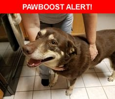 Is this your lost pet? Found in Lake Dallas, TX 75065. Please spread the word so we can find the owner!  Big Brown Lab? mix..Super sweet boy..i am sure his family is missing him..  Near Harbour Town Dr & Lake Highlands Dr