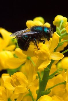 Blue Orchard Mason Bee, Osmia lignaria - Apiculture – Bees and Pollinators – BC Ministry of Agriculture