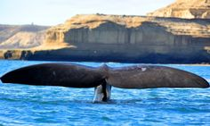 A southern right whale off the Valdés peninsula, Patagonia, Argentina. Photograph: Pablo Cersosimo/Robert Harding