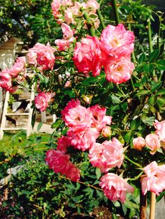 Pink Roses in my garden