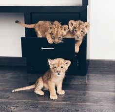 Gorgeous baby lions