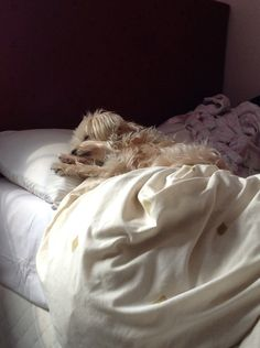 My beautiful Nancy having a mid day snooze in bed ❤️ Morkie terrier