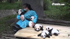5 panda cubs receiving love from keeper- I would die and go to heaven if I could cuddle such cuties