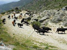 Vacas de la Raza Avileña se dirigen hacia el Norte a través del Puerto del Pico en busca de los pastos que en Extremadura escasean en verano. Es la Cañada Real Leonesa Occidental que coincide con uno de los mejor conservados tramos de Calzada Romana de España.