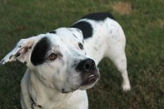 I got my great name because the people who rescued me think I am as sweet as a donut! I am a 1-2 year old English Pointer/ Boxer mix. I am a really nice dog. I LOVE other dogs and I am also fine with cats. I have a moderate energy level and walk...