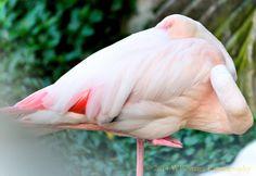 Fenicotero Rosa II by Welbis Pestana on My Animal, Flamingo, Birds, Animals, Flamingo Bird, Animales, Animaux, Flamingos, Bird