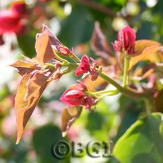 The Bougainvillea is an immensely showy, floriferous and hardy plant. Read tips & tricks to keep your citrus plants looking healthy & vibrant with BOUGAIN®.