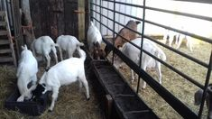 *Genuine herd reducton sale* of Goats For Sale in Bridgwater, Somerset | Preloved