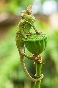 Don't look back... - Veiled Chameleon