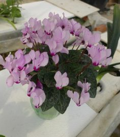 Cyclamen persicum Mill pink flower menas brave