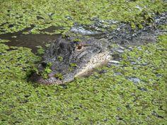 Alligator in Louisiana