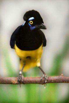 Plus crested jay. ..