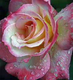 branca e rosa