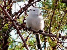 Shima Enaga - Bing Images