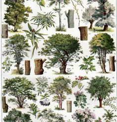 Taken from a vintage French Encyclopedia set called Nouveau Larousse Illustre published in the 1930s in Paris France. This print would be beautiful framed or could be copied and used in your mixed media or collage projects. This is a beautiful 2 page set identifying tress, bushes, and wood. The reverse side of each page is in black and white showing the pest that infect the trees. This is a super price for the set and would make a great addition to you home decor! Measures approx. 9 1/4 ...