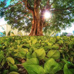 #tree #leaves #sun #nature. #gopro5. #gopro. #goprohero5black #goprohero5 #hero5. #nature #green #sky  #beautiful #pretty#day  #mothernature #green #sunburst. #Photographer #photography #picphotographer #trees #goprophotography_  #goproeverything.  #goprophoto.  #gopro_captures. #gopro_boss  #goproworld. #treeoflife. #tree_magic