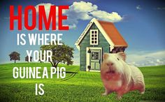 Home is where your #guineapig is! #cavies #cavy