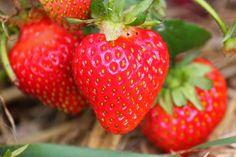 Erdbeeren aus eigenem Anbau. Frisch gepflückt oder zum selber pflücken.