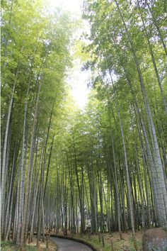 Bamboo forest in Beppu Park, Beppu, Japan -  #beppu #oita #japan