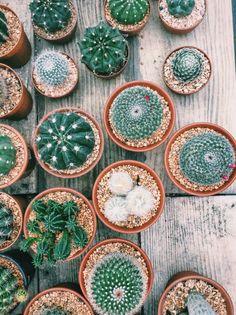 Cactus Thailand