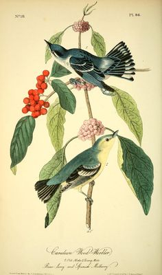 v 2 - The birds of America by John J Audubon : - Biodiversity Heritage Library  -  Cerulean Wood Warbler