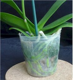 Designs For Garden Flower Beds Healthy Wet Orchid Roots Orchids In Water, Indoor Orchids, Orchids Garden, Indoor Flowers, Exotic Flowers, Artificial Flowers, Roses Garden, Fruit Garden, Succulents Garden