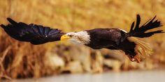 Yukon - Eagle