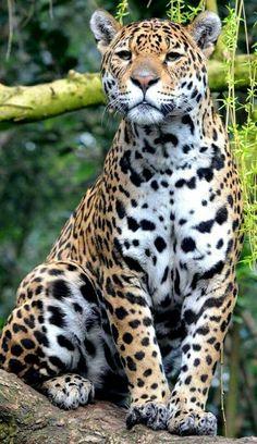 Grote kat