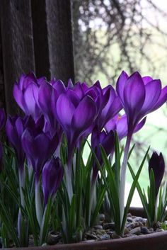 Crocus - Early Spring Blooms, perennial bulbs, avaliable in the Flower Power Fundraising Fall Brouchure Purple Love, All Things Purple, Deep Purple, Purple Stuff, Plum Purple, Purple Flowers, Beautiful Flowers, Beautiful Beautiful, Beautiful Gifts