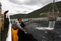 Fish farming grows rapidly, questions on labor, environmental impact
