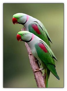 Alexandrine Parakeet (India)