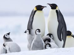 Emperor Penguins with baby's