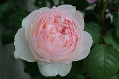 David Austin Roses,Sharifa Asma
