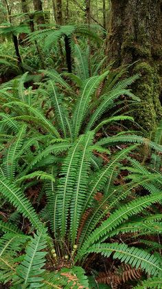 Lush fern-filled rainforest along the Kepler Track, near Lake Te Anau NZ