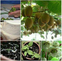 DIY Grow Kiwi from Seed step by step gardening instructions.They have beautiful flower blooms that transforms before your eyes into kiwi. How To Grow Kiwi Plants From Seeds - HowToInstructions.Tips You will love to learn how to grow Kiwi Fruit from Seed a Fruit Plants, Fruit Garden, Edible Garden, Fruit Trees, Vegetable Garden, Garden Plants, Tree Garden, How To Grow Kiwi, Vegetables Garden