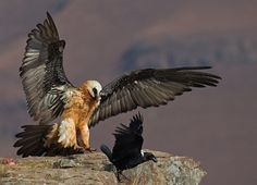 Bearded Vulture and White-necked Raven