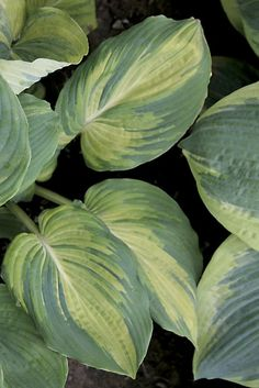 The Queen Hosta