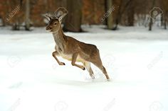 Deer Running In The Snow In Winter Stock Photo, Picture And Royalty Free Image. Image 26103387.