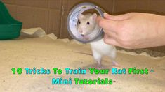 10 Tricks To Train Your Rat(s) First - Mini Tutorials