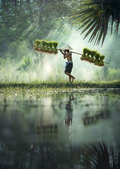 Rice farming, Thailand, by Sasin Tipchai
