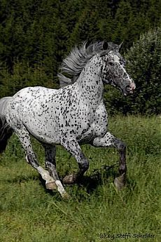 The Appaloosa horse breed Most Beautiful Animals, Beautiful Horses, Beautiful Creatures, Horses And Dogs, Wild Horses, Wilde Mustangs, Indian Horses, Appaloosa Horses, Leopard Appaloosa