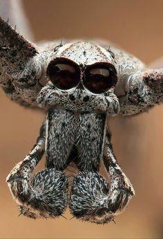 Net-casting spider (Deinopis subrufa)