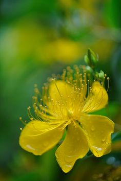 Hypericum in the rain   Flickr - Photo Sharing!